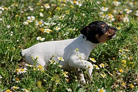 Ratonero Bodeguero Andaluz - puppy on meadow