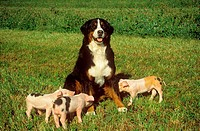 Bernese Mountain dog and three piglets on meadow