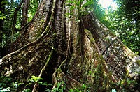 Tree buttress, rainforest. Dominica Island, West Indies