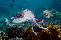 Broadclub cuttlefish (Sepia latimanus) breeding male posturing to another male. Komodo, Indonesia