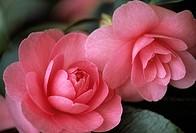 Camellia japonica 'June McCaskill', Camellia