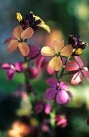 Erysimum linifolium ´Variegatum', Wallflower