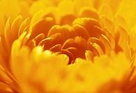 Calendula officinalis, Marigold