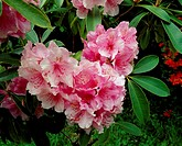 Pink Rhododendron heart