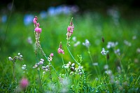 flower meadow, summer, Sainfoin, Onobrychis viciifolia, mean Silene, Silene vulgaris