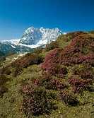 Austria, Tyrol, Kaiser-mountains, snow-heath, Erica Herbacea, gaze, Ackerlspitze, North-Tyrol, mountain scenery, mountains, plants, Alps-plants, Alpin...