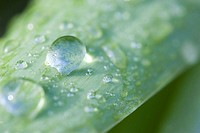 Tulip, leaf, water-drops, close-up, nature, plant, flower, spring-flower, spring, tulip-leaf, green, drops, dewdrops, raindrops, dew, concept, freshne...