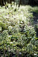 Forest, nature, vegetation, butterbur, Petasites paradoxus