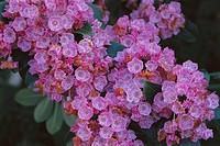 Mountain Laurel (Kalmia latifolia ´Sarah´)
