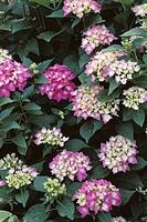 Big-leaf Hydrangea (Hydrangea macrophylla ´Masja´)