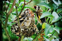 Goldfinch (Carduelis carduelis) feeds his five fledglings at the nest