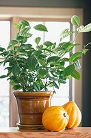 Potted plant and squash