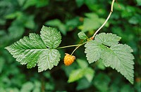 Salmonberry (Rubus spectabilis) in Hoh rainforest. Olympic National Park, Washington, USA