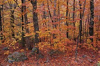 American Beeches (Fagus grandifolia) near Bubble Pond, Acadia National Park. Maine, USA