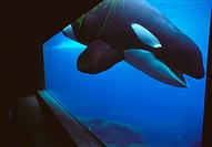 Killer Whale (Orcinus orca) -Keiko, the killer whale star of film 'Free Willy'-. Oregon Coast Aquarium, USA