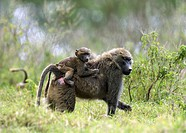 Youthful baboon catching a ride oon its mothers back, Lake Nakuru, Kenya