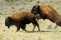 Sparring bison bulls in the Lamar Valley, Yellowstone National Park, USA