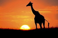 Giraffe silhoutted in the sunset, Masai Mara, Kenya