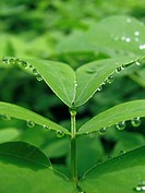 Dewdrops on leaves of Senna obtusifolia Sicklepod Fabacae. five petals and pods in the fall. The Sickle_shaped can be eight inches long. The leaves ar...