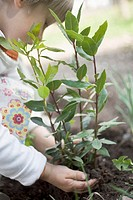 Child planting bay plant in garden