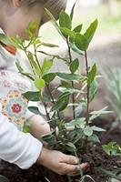 Child planting bay plant in garden