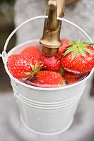 Washing strawberries in a bucket