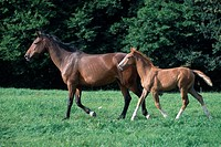 Oldenburger, mare, with, foal, side