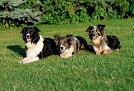 Border, Collies