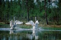 Whooper, Swans, pair, territorial, display, Finland, Cygnus, cygnus