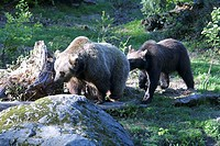 European, Brown, Bear, with, cub, Ursus, arctos