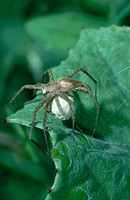 Fantastic, Fishing, Spider, with, cocoon, Lower, Saxony, Germany, Pisaura, mirabilis