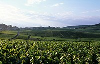 Wine-growing near Cramant, Côte des Blancs, Champagne, France