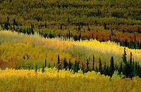 Birch, forest, in, autumn, Yukon, Canada