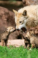 Wolf, with, cubs, Canis, lupus, cub
