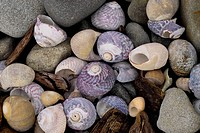 Snail, shells, County, Clare, Ireland
