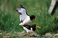 Oystercatcher (Haematopus ostralegus). North Friesland, Germany
