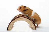 Golden, Hamster, Mesocricetus, auratus, side,