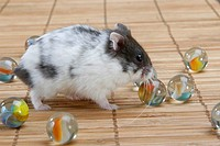 Campbell´s, Russian, Dwarf, Hamster, with, marbles, Phodopus, campbelli,