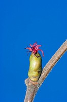Hazel, female, blossom, North, Rhine-Westphalia, Germany, Corylus, avellana,