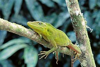 Anole (Anolis sp.). Venezuela