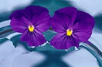 Two violas photographed floating in water. Southern Oregon coast, USA