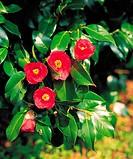 Camellia flowers,Korea