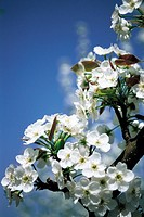 Close-up Of Pear Blossom