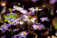 Close-up Of Wild Flower,Korea