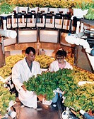 05/02/2000 ___ Original photo and caption dated October 8, 1991: ,Plant researchers Neil Yorio and Lisa Ruffe prepare to harvest a crop of Waldann´s G...