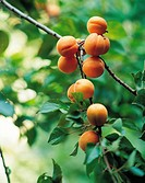 Apricots Hanging On The Tree,Korea