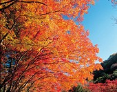 Autumn Foliage,Korea