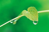 Dew Drops With Leaves