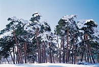 Pine Trees In Winter,Gangneung,Ganwon,Korea