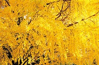 Ginkgo In Autumn,Korea